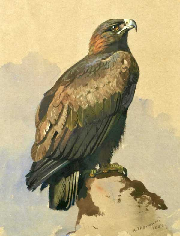 Archibald Thorburn Eagle paintings wanted by Robert Perera Fine Art.